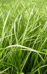 Meadow fescue - Zelena dolina