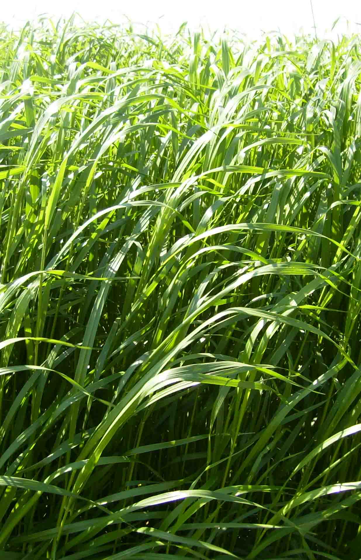 Italian rye-grass - Mir